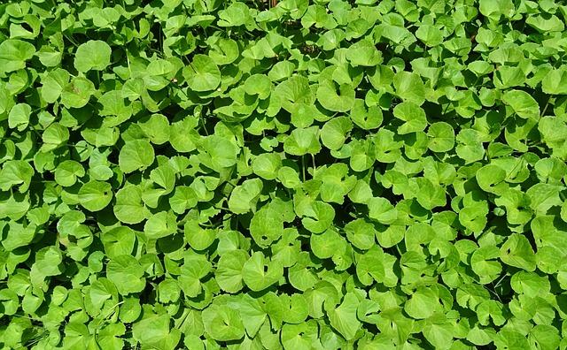 Plant, Herb, Medicinal, Indian Pennywort, Coinwort