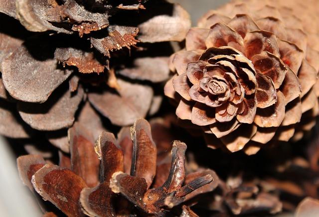 Cones, Conifers, Nature, Closeup, Plant
