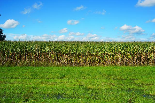 Corn, Cornfield, Late Summer, Agriculture, Plant