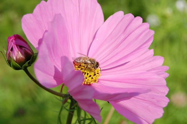 Flower, Plant, Spring, Pink, Cosmea