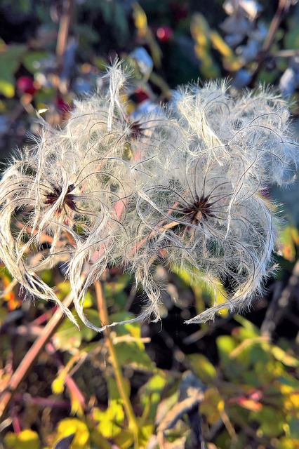 Plant, Cottongrass, Sour Grass Greenhouse, White, Grey