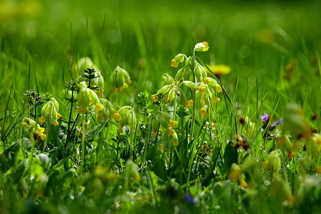 Grass, Flower Meadow, Plant, Nature, Cowslip