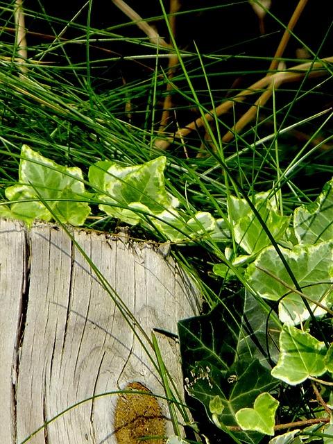 Ivy, Vedben, Plant, Creeper, Climbing Plant, Macro
