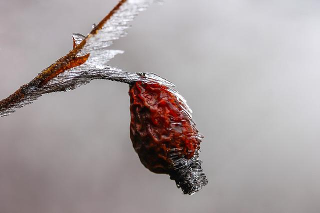 Rosehips, Ice, Winter, Macro, Frost, Plant, Crop, Cold