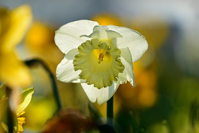 Daffodil, Flower, Plant, Petal, Stamen, March