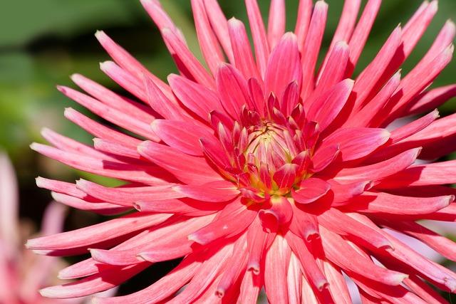Dahlias, Dahlia, Geothermal, Plant, Composites, Pink