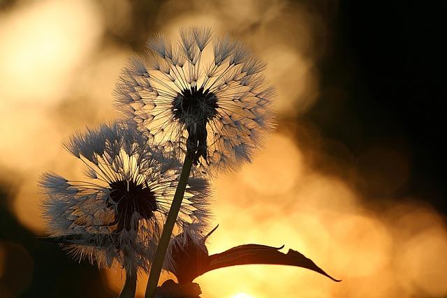 Dandelion, Flower, Seeds, Nature, Plant