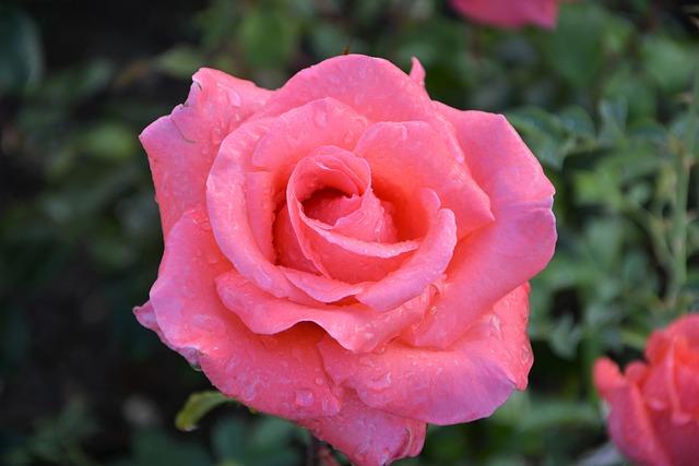 Flower, Plant, Rose, Nature, Garden, Red, Macro, Doga