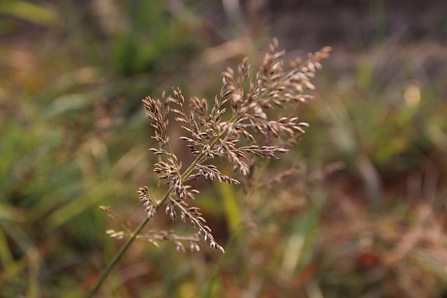 Plant, Eragrostis Japonica, Southeast Of China