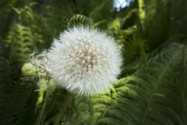 Dandelion, Fern, Nature, Plant, Growth, Leaf