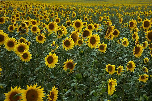 Sunflower, Field, Yellow, Agriculture, Bloom, Plant