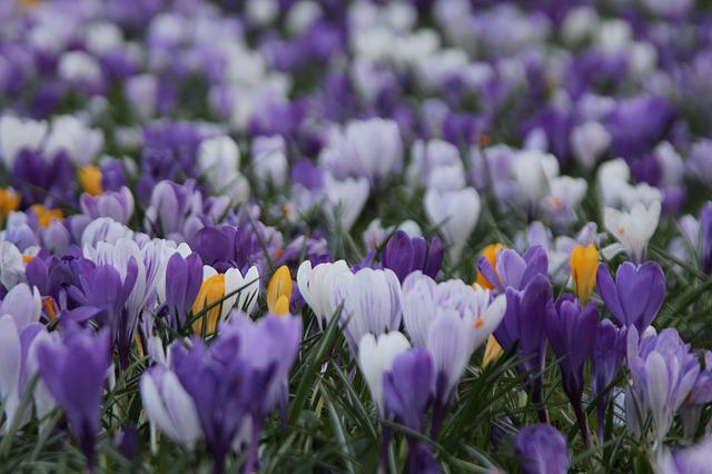 Nature, Flower, Plant, Field, Crocus