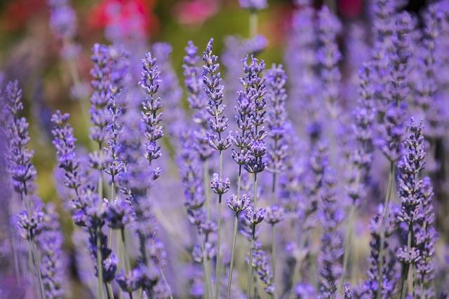 Flower, Nature, Plant, Lavender, Field, Summer, Perfume
