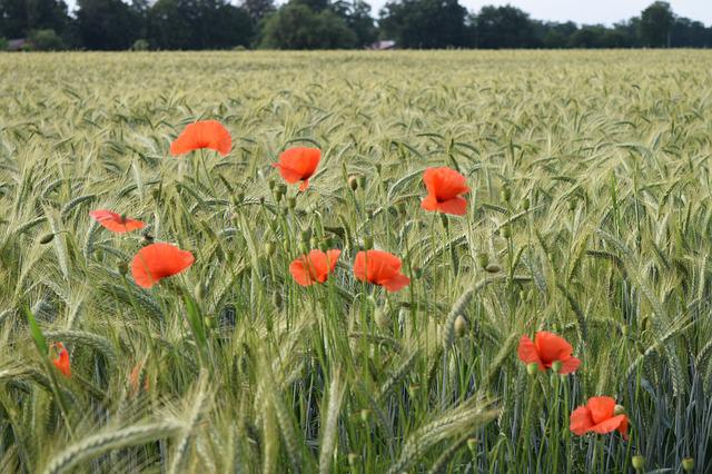 Field, Rural, Summer, Plant, Meadow, Poppies