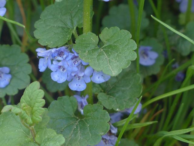 Ground Ivy, Flower, Blossom, Bloom, Plant, Wild Flower