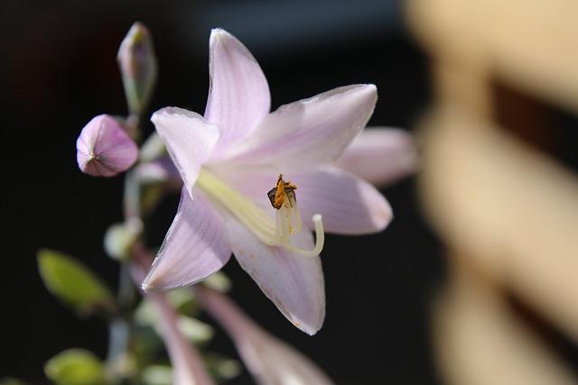 White Border-funkie, Flower, Plant, Blossom, Bloom