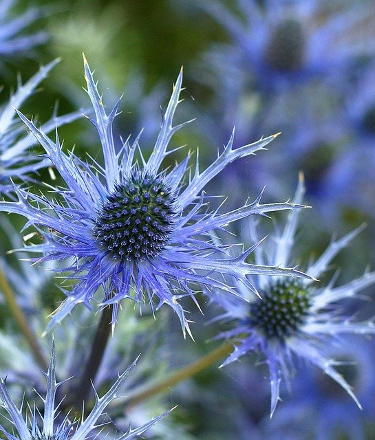 Holly Flower, Flower, Eryngium, Plant, Blue, Spiky