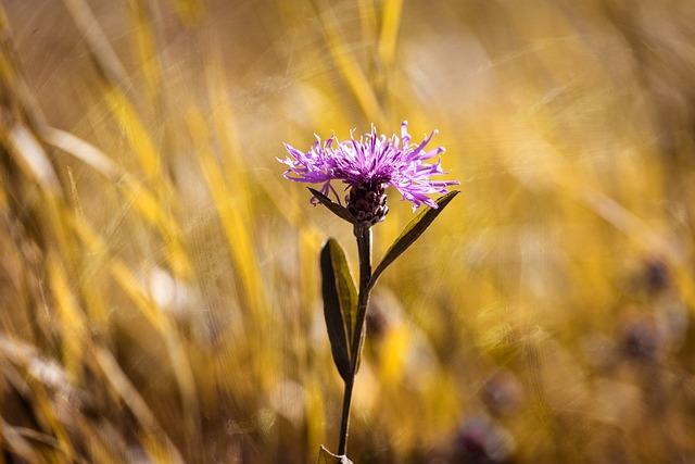 Bluets, Wigs Malvaceae, Plant, Flower, Pointed Flower