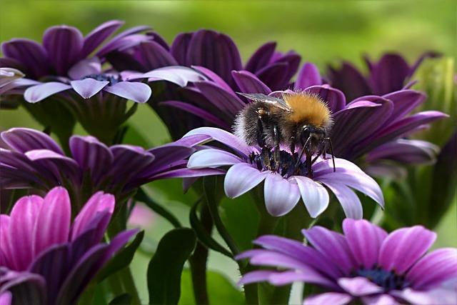 Plant, Flower, Bornholm Marguerite