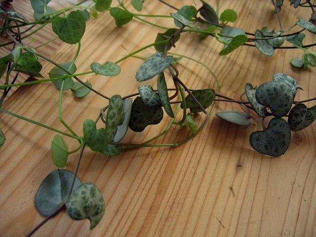 Plant, Houseplant, Ceropegia Woodii, Flower Chandelier