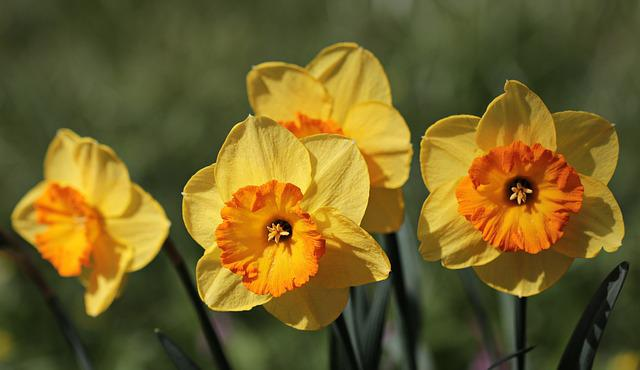 Osterglocken, Daffodils, Flower, Nature, Plant, Bright