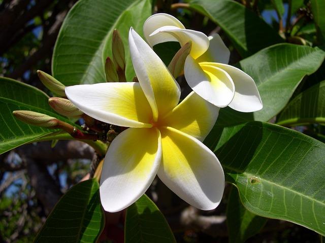 Plumeria, Flower, Frangipani, Plant, White, Yellow