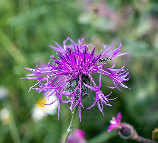 Greater-knapweed, Wildflower, Plant, Flower, Purple