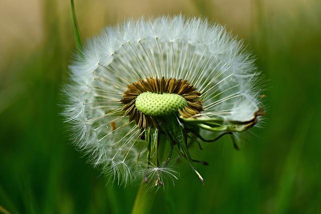 Dandelion, Flower, Plant, Puff Ball, Base, Flower Head
