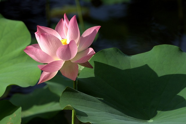 Lotus, Plant, Flower, Pond, Leaf, Holy