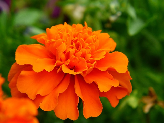 Marigold, Flower Meadow, Orange, Plant, Blossom, Bloom