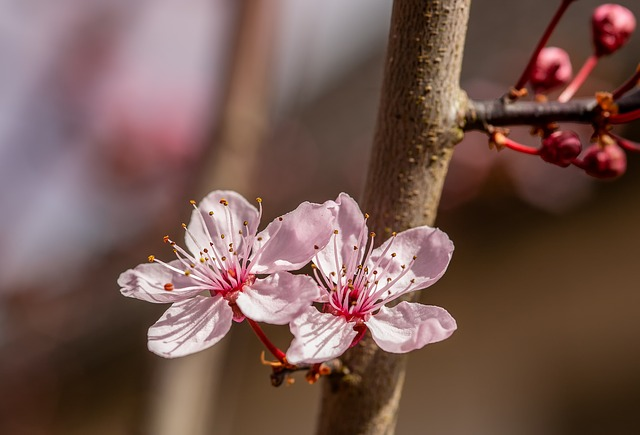 Flower, Nature, Cherry Wood, Ornamental Cherry, Plant
