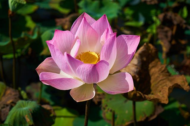 Lotus, Plant, Flower, Nature, Leaves, Petals, Tropical