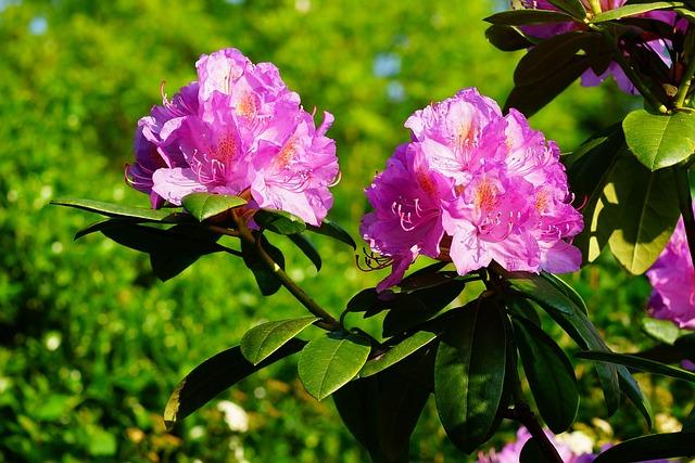 Azalea, Rhododendron, Flowers, Flower Purple, Plant
