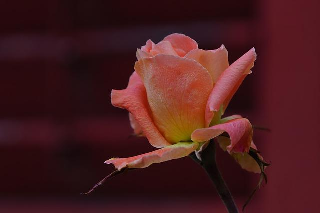 Rose, Flower, Nature, Plant, Leaf, Petal, Close Up