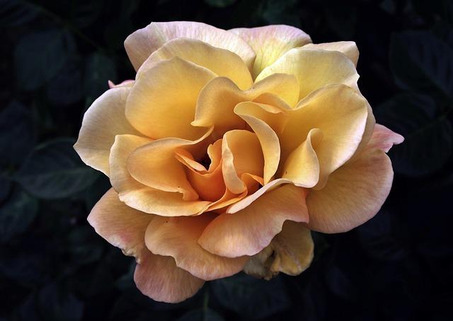 Flower, Rose, Petal, Nature, Plant