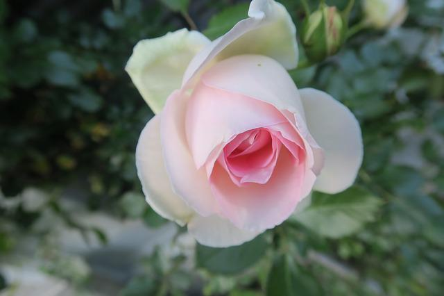 Rose, White Rose, Nature, Flower, Plant, Roses