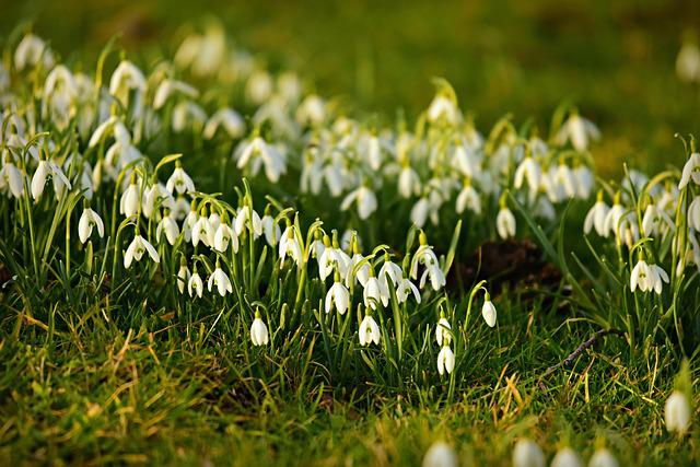 Snowdrop, Flower, Plant, Winter Bloom, Herald Of Spring