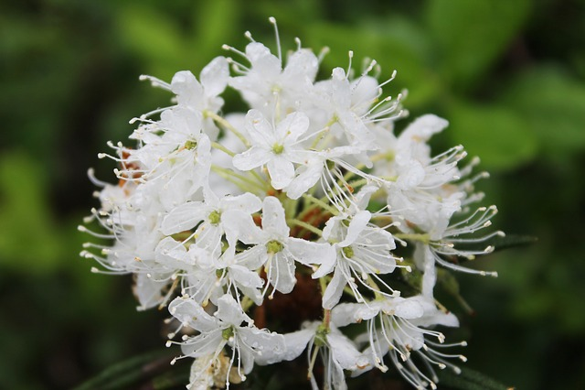 Flower, Nature, Plant, Spring, Labrador Tea