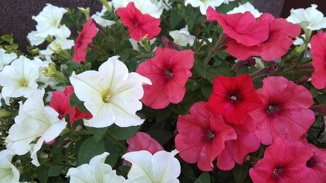 Flower, Surfinia, Pink, White, Plant