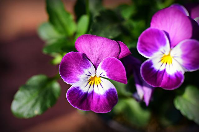 Pansy, Flower, Plant, Bloom, Purple, Violet, Violaceae