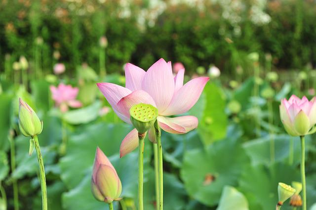 Lotus, Flowers, Pink Lotus, Flower, Green Leaf, Plant