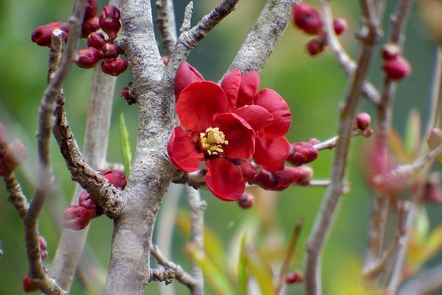 Japan, Natural, Plant, Flowers, Bokeh, Quince