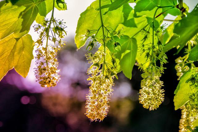 Maple, Nature, Plant, Flowers, Back Light, Sunshine