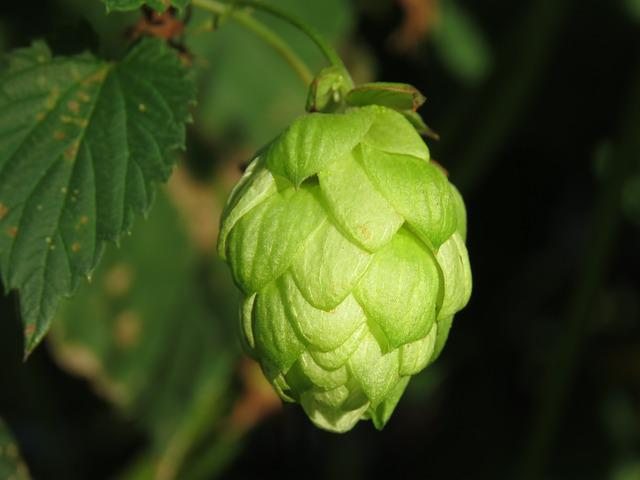 Hops, Leaf, Nature, Food, Plant