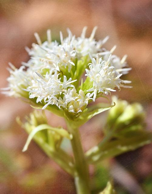 White Butterbur, Plant, Medicinal Plant, Forest Plant
