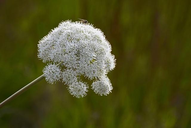 Forest-angelica, Apiaceae, Doldengewächse, Plant