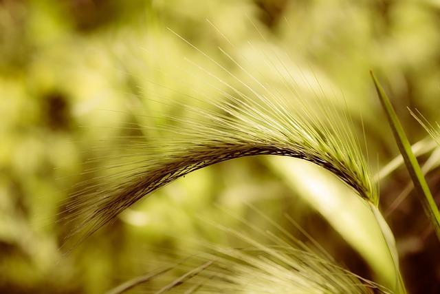 Foxtail Barley, Plant, Grass, Perennial