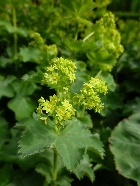 Plant, Leaf, Nature, Agriculture, Flower, Frauenmantel