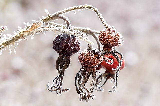 Rose Hip, Rosa Canina, Plant, Winter, Frosty, Dry