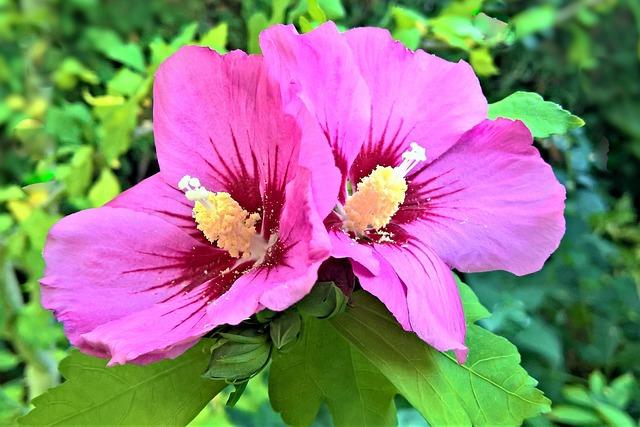 Plant, Hibiscus, Garden Hibiscus, Mallow, Bush, Garden